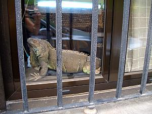 While visiting apartments, we walked by this iguana hanging out in a window sill. I want one!