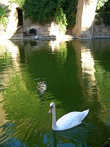 Swans in a pond near the cathedral.