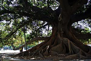 Buenos Aires - giant tree