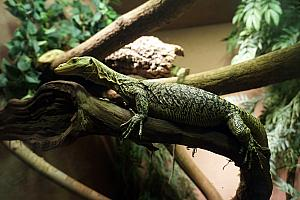 Cincinnati Zoo: awesome capture of a lizard, through the looking glass.