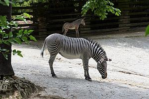 Cincinnati Zoo: a striped horse.