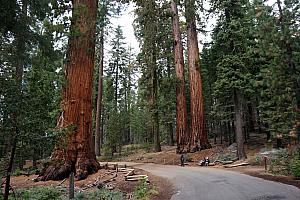 More giant sequoias. Many of these are a couple thousand years old, having survived dozens of forest fires and other natural disasters. Amazing.