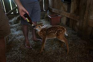 Baby deer is THIRSTY