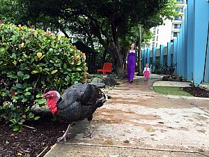 Visiting the hotel's nature garden, and following around one of the two turkeys that live here!