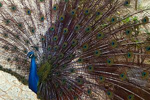 Hi Mr. Peacock.