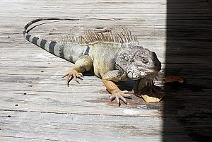 This big iguana was hanging out by the restaurant. He looks like he eats table scraps.