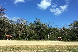 Vieques is home to (I'm estimating) hundreds of wild horses. You see them all over while driving around the island! Sometimes you need to wait for them to get off the road.